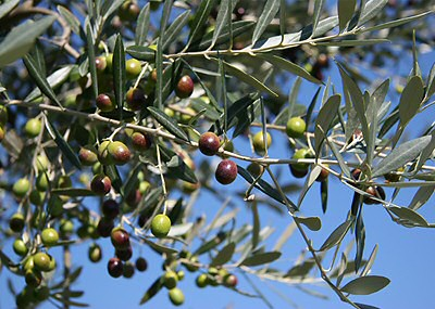 Olives at Harvest time