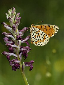 A newly emerged fritillary butterfly on one of the grassland orchids just by the swimming pool