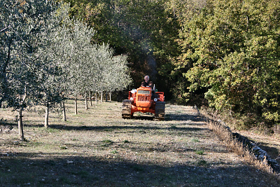 Nigel bringing in the olive harvest